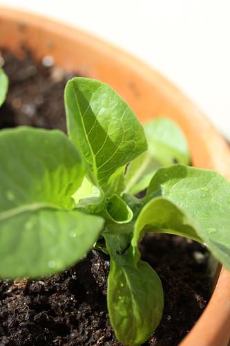 Imbolc Lettuce