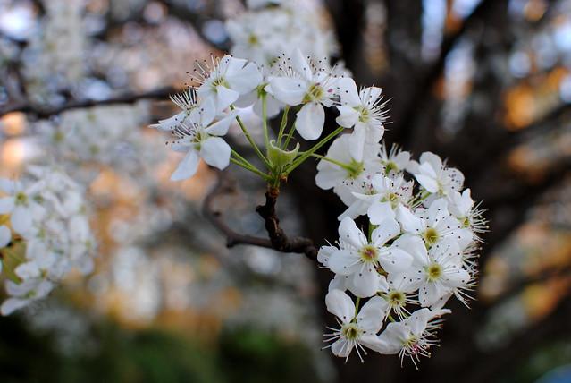 [60/365] Pear Tree