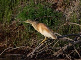 2011_03_29 PO - Squacco Heron (Ardeola ralloides) by Mike at Sea