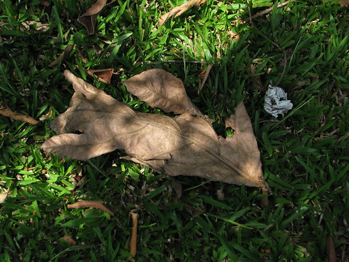 Breadfruit leaf on ground
