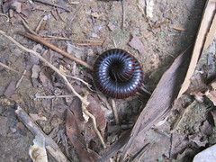 Millipede rolled up in self-defense