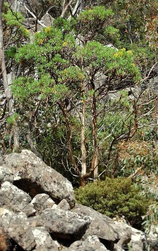 Brachyglottis brunonis (Tasmanian Daisytree)