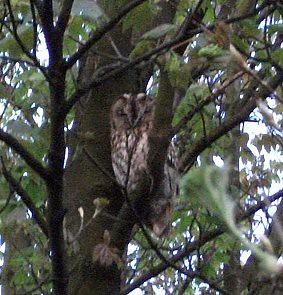 owl 12/4/11 by knittywittywoo