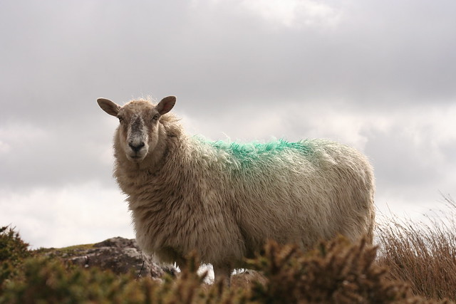 dramatic sheep