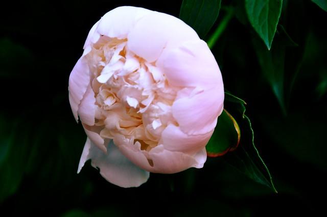 Open Lotus Garden Peony Closed