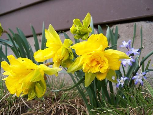 funny daffodils