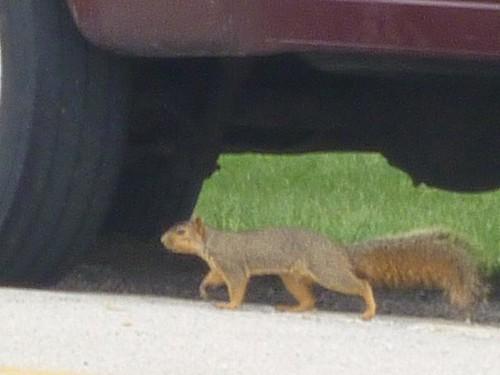 IL, Odell 14 squirrel under car