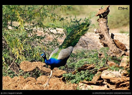 Peacok in a Bishnoi village