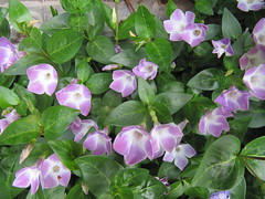 Vinca - Plants For Dry Shade