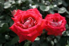 Rose Love バラ ラブ