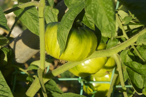 Green tomatoes, going pink