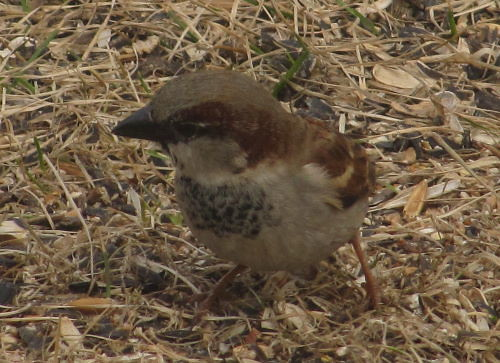 Young male House Sparrow