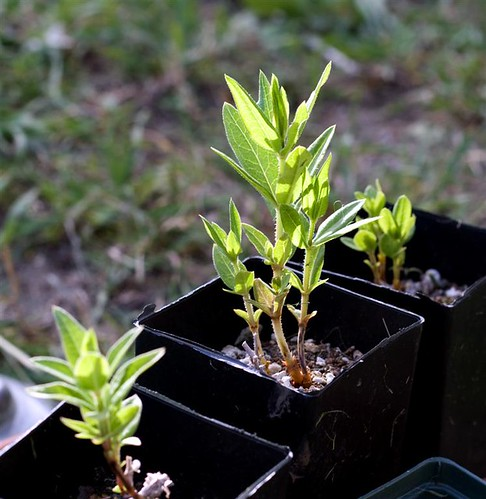 Madder seedlings (Large)