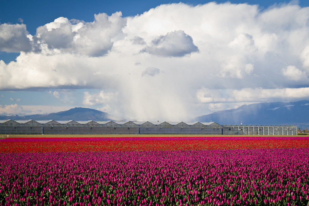 Tulip field downpour