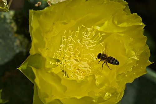 Honey Bee in Prickly Pear