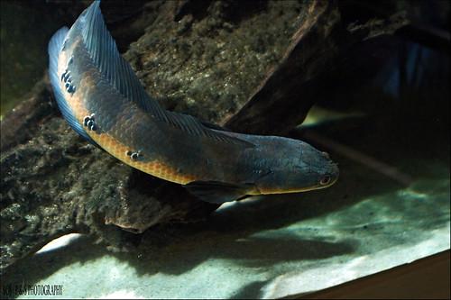 Emperor Snakehead (Channa marulioides); Toman Bungah