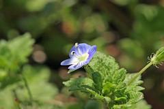 自然環境保全センターのオオイヌノフグリ(Flower, Nature Preservation Center, Kanagawa, Japan)