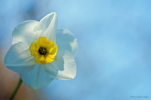 Day 121 … Yet another Daffodil by Echo9er