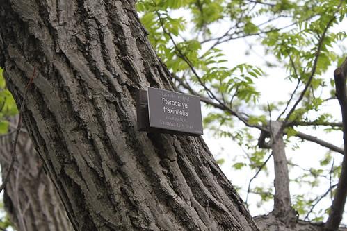 New York Botanical Gardens - Caucasian wingnut (Pterocarya fraxinifolia) Bark and Leaves
