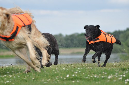 Retrievers playing