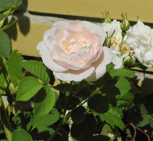110615 Roses 008