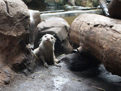 a shy, whiskery, pale-furred river otter peeks out from between rocks and a log. He has adorable little flipper-hands and his head is cocked to one side slightly.