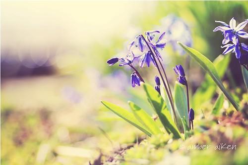Spring Beauty by Amber Aiken