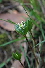 自然環境保全センターのヒトリシズカ(Flower, Nature Preservation Center, Kanagawa, Japan)