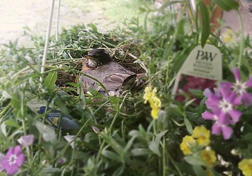 Robin in her Flower Pot Nest by Karyn Ellis