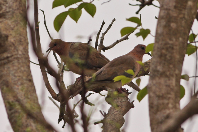 Pair of Laughing Dove