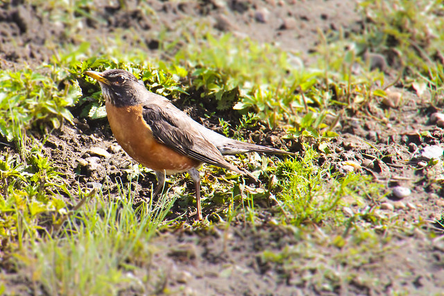 181.365 Robin.