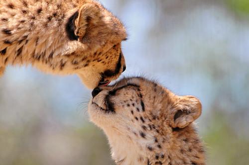 Tenderly licking cheetah by Tambako the Jaguar