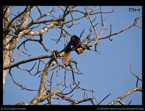 Malabar Giant Squirrel   Kabini