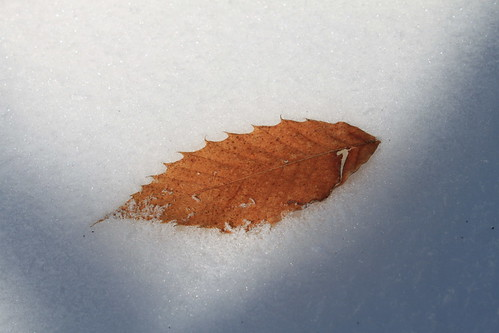 Kelly's Knob - Possible Chestnut Leaf in Snow