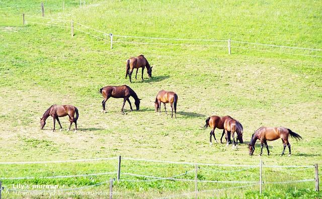 這些馬兒們的毛皮在陽光下都黑的發亮,體格看起來也十分精壯。斯洛維尼亞的馬在歐洲馬界很有名。