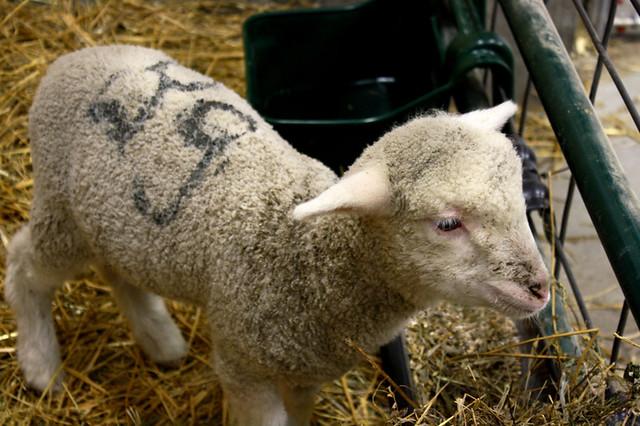 lambs - 6
