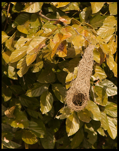 Weaver Bird Nest by Sushil