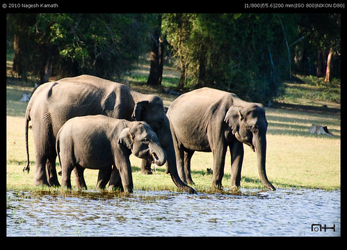 A herd of elephants | Kabini