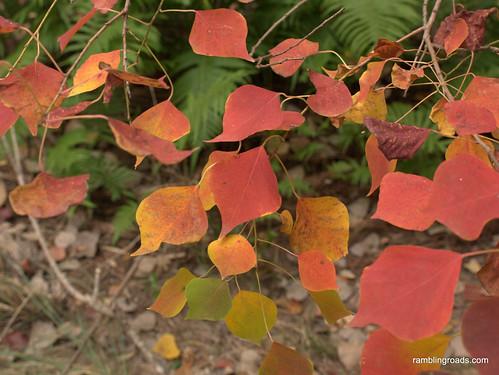 Austin leaves