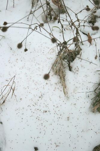 Avens sp. seedheads