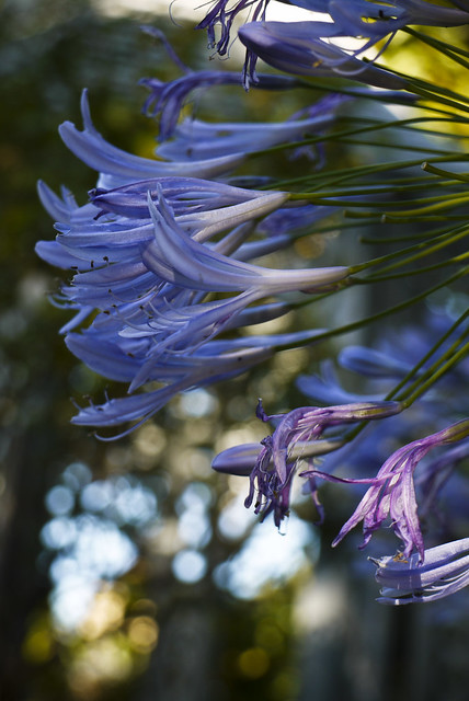 flowers of Fay Gardens, Russian Hill, San Francisco