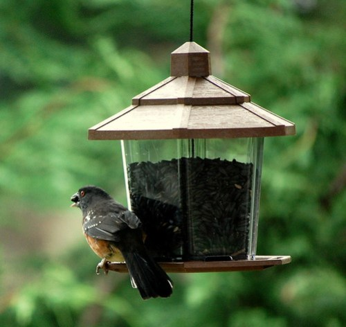 Twohee with sunflower seed in his mouth at the bird feeder.