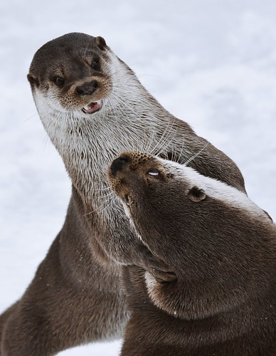 Playing Otters 1