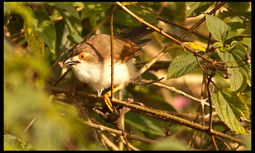 Yellow-eyed Babbler Sushil