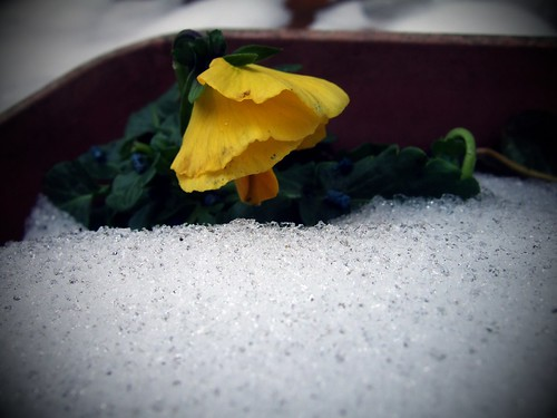 Yellow Flower Struggling In Snow