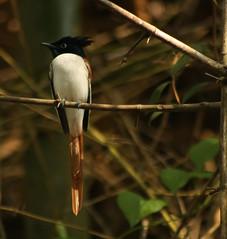 Spotted Asian Paradise-flycatcher at Ranganathittu B S