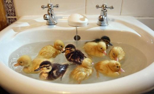 cutsie-ducks