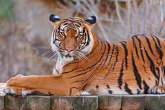 Lying Sumatran tiger