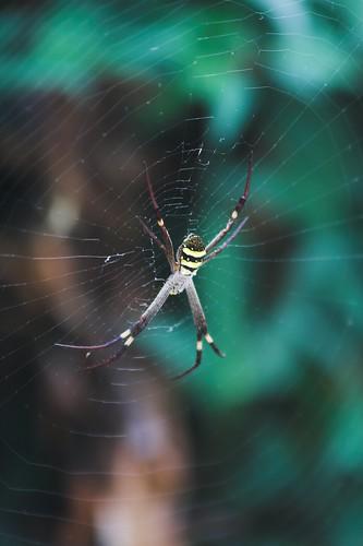 Courtyard Spider