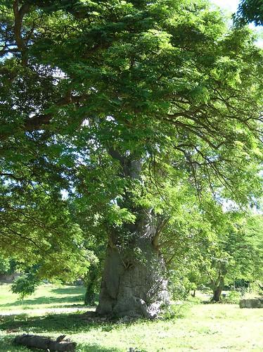 Beobab tree